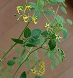 秋のマイクロトマトの花