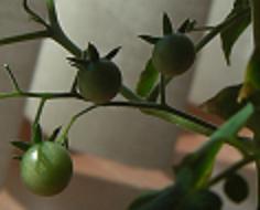 秋のマイクロトマトの実