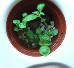 水耕栽培容器へ移植2 2009年4月9日