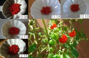 マイクロトマトの収穫12月前半