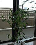盆栽つくりのマイクロトマト