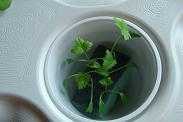 三つ葉水耕中