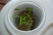 水耕栽培へ移植