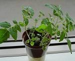 急成長マイクロトマト