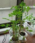 さらに急成長マイクロトマト