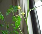 マイクロトマトの花