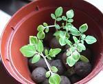 移植後のマイクロトマト成長