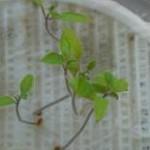 マイクロトマト幼苗