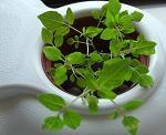 マイクロトマト水耕中