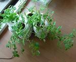水耕容器のマイクロトマト