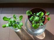 小松菜成長