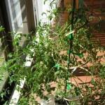 秋のマイクロトマトの木