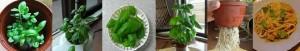 バジルの成長過程