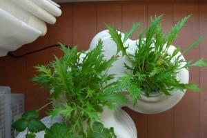 さらに成長の水菜