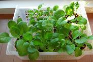 小松菜成長中期